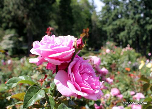 Methinks a Rose is Best